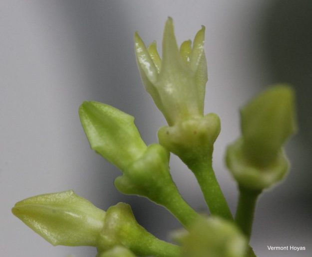 Hoya papaschonii 020816a