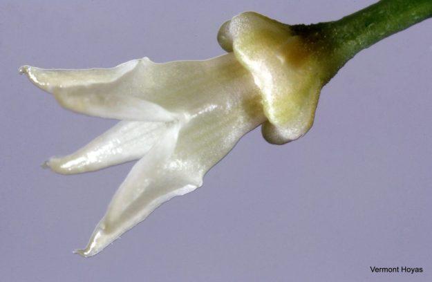 Hoya papaschonii 021316a