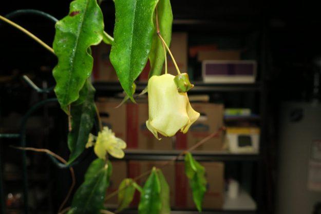 Hoya sammannaniana (EPC 883) 030216b