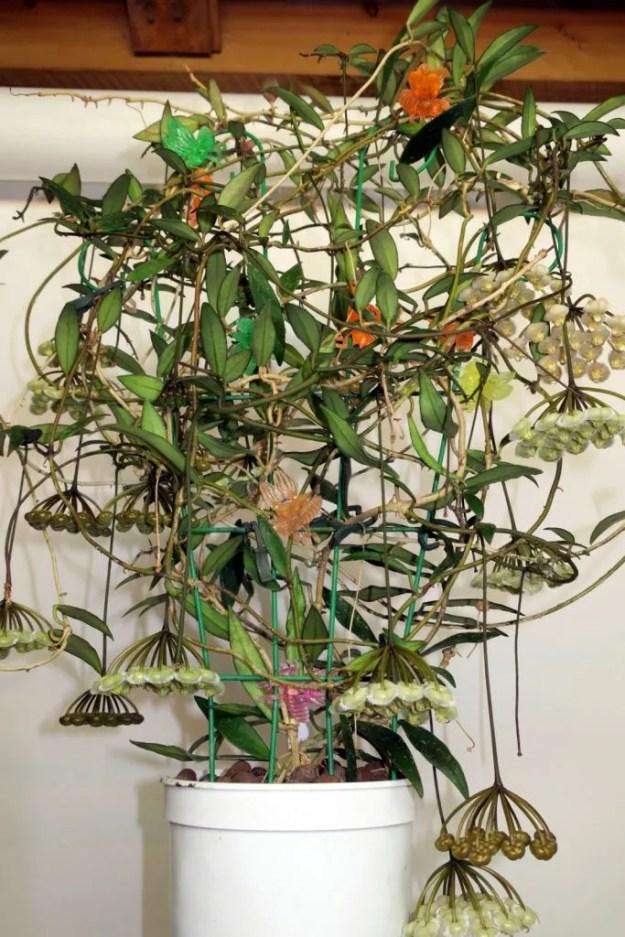 Hoya mirabilis 031116b