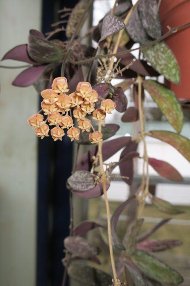 Hoya sigillatis 050316b
