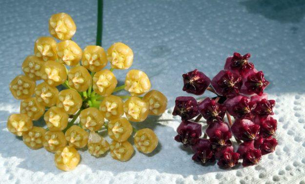 Hoya benitotanii and Hoya lucardenasiana - The World's Most Handsome Couple!
