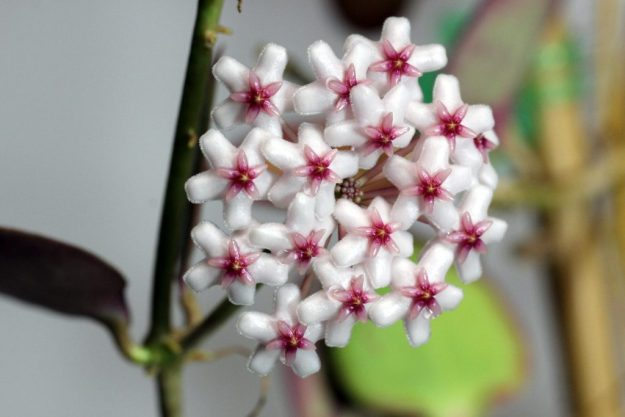 Hoya sp. NS05-055 060116