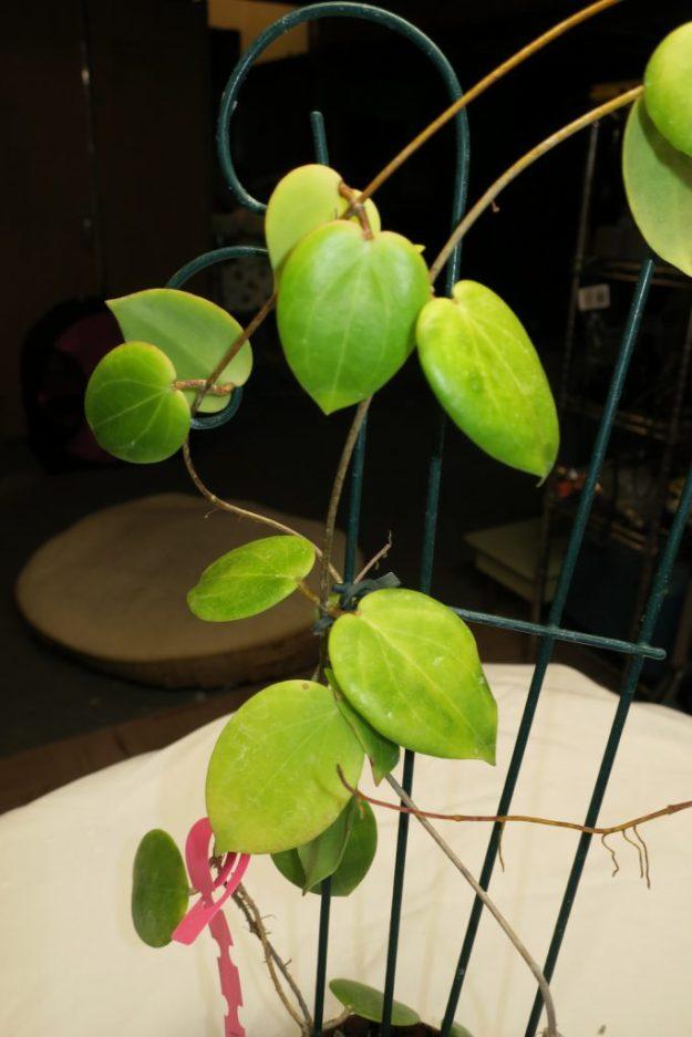 Hoya neocaledonica 061816