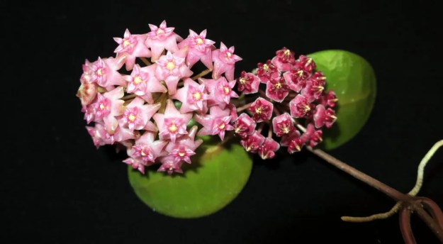 hoya lucardenasiana and Hoya sp. Sarawak  GPS 10073 071116