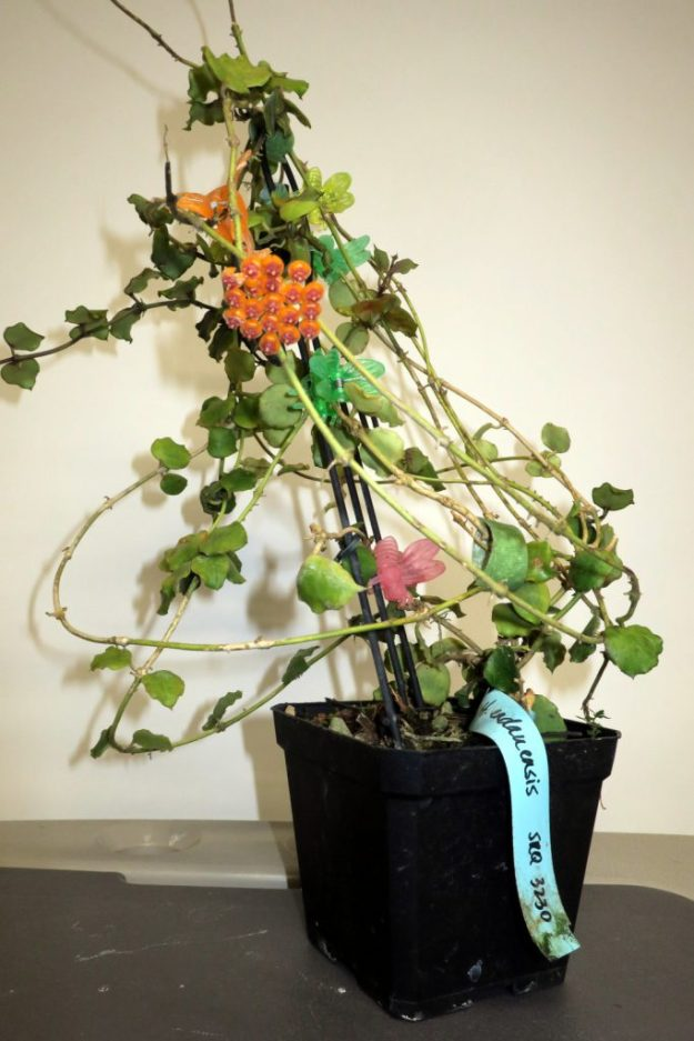 Hoya endauensis 073016a