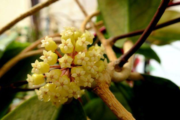 Hoya vitellinoides 080516b
