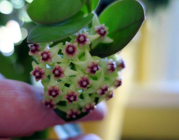 Hoya cumingiana 080616