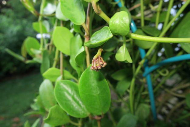 H. wightii ssp palniensis 090616