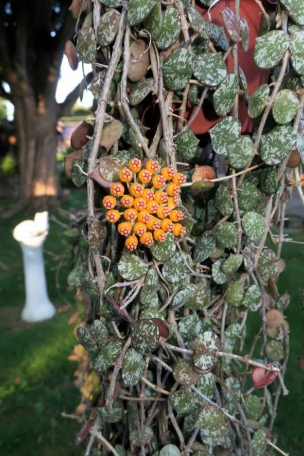 Hoya curtisii and H. waymaniae 090516