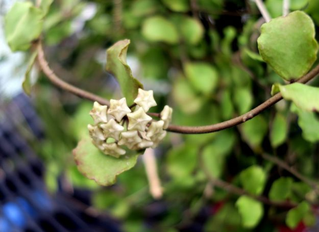 Hoya kanyakumariana 090816b