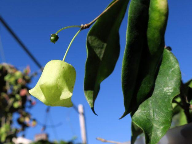 Hoya sammannaniana 091316c