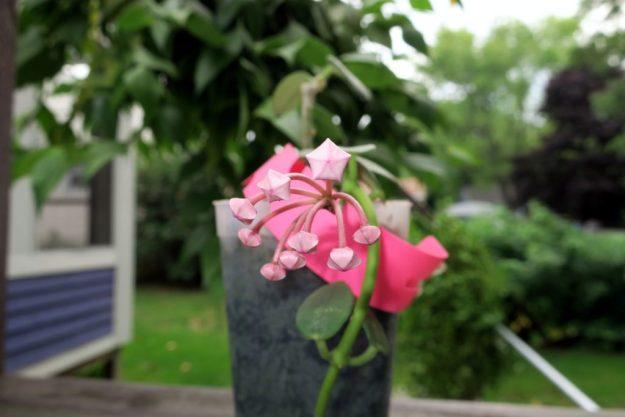 Hoya lithophytica 091416a