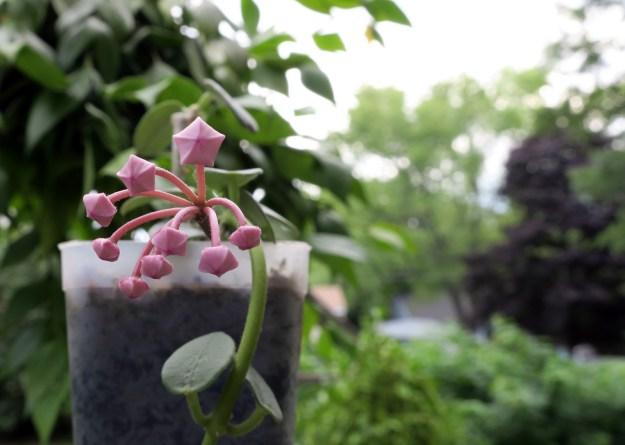 Hoya lithophytica 091416b