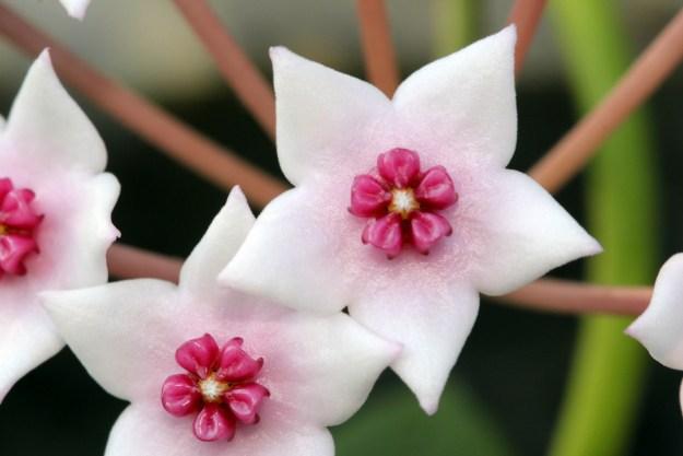 Hoya lithophytica 091916
