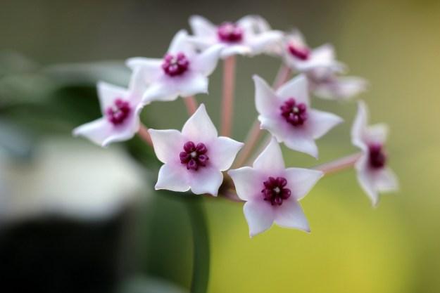 Hoya lithophytica 092516a
