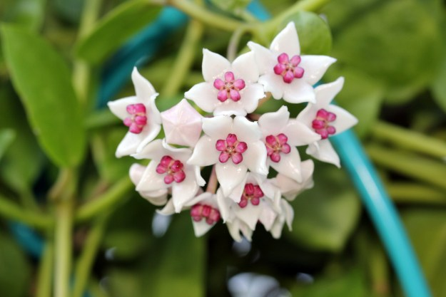 Hoya wightii sub. palniensis 100116
