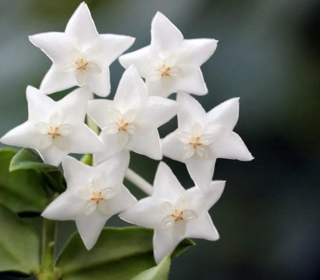 Hoya lanceolata bella 'White' 101016