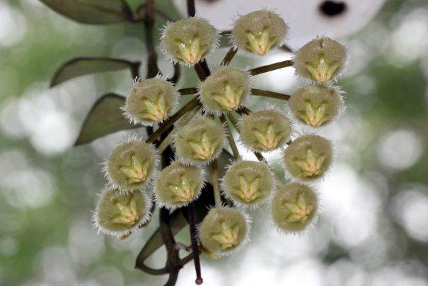 Hoya mirabilis Clone A 111416a