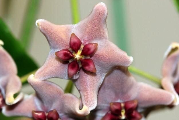 Hoya vitiensis 112016a