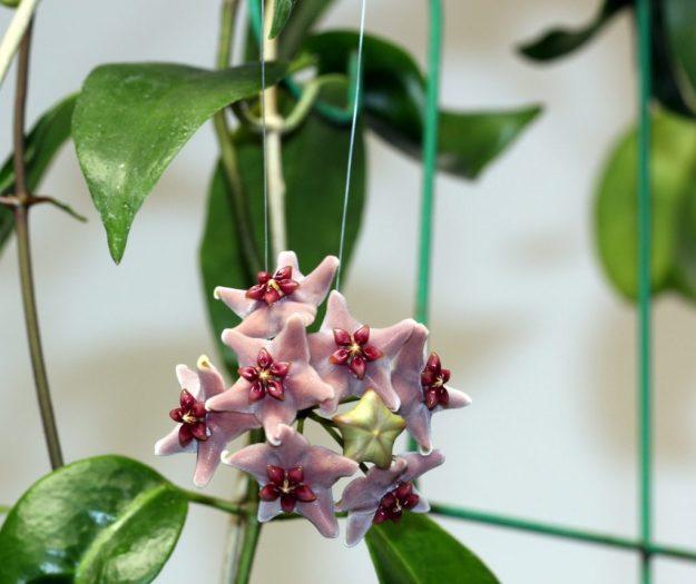 Hoya vitiensis 111916a