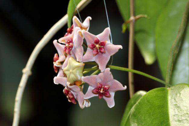 Hoya vitiensis 112016b