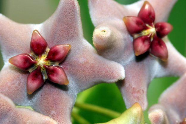 Hoya vitiensis 112816