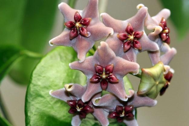 Hoya vitiensis 112216