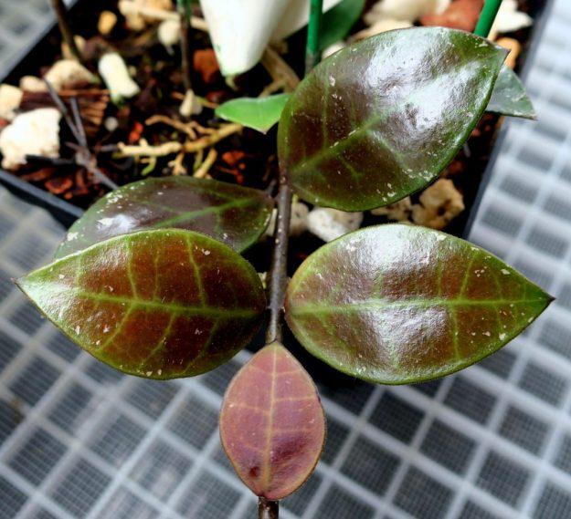 Hoya sipitangensis 102816