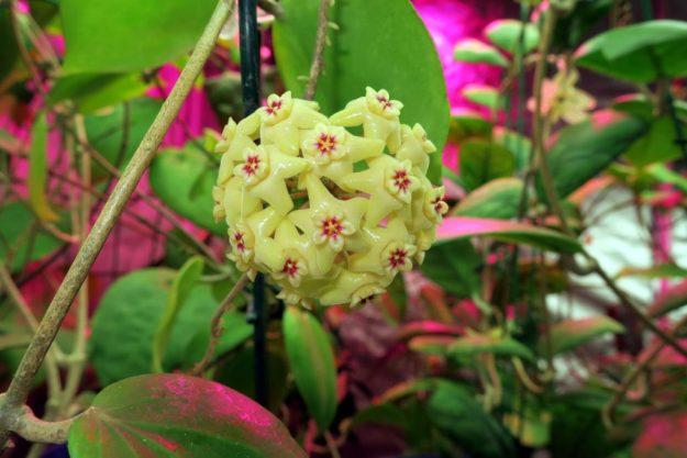Hoya neocaledonica 110616b