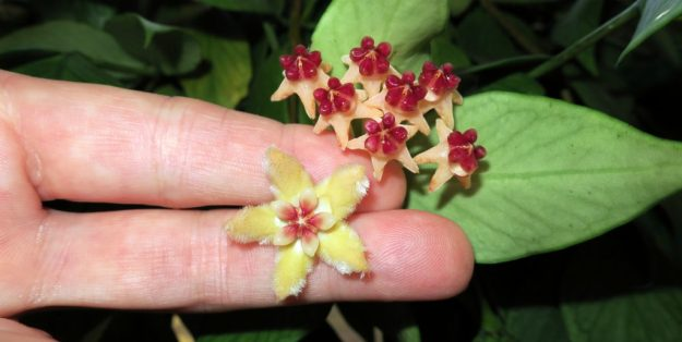 Hoya halconensis and Hoya polyneura 120616