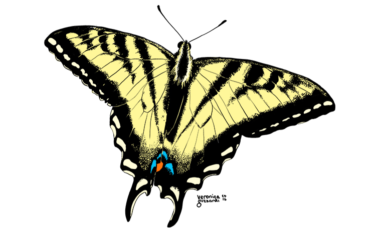 Tiger Swallowtail Butterfly Designs