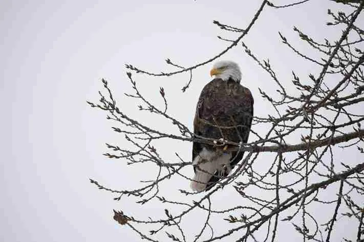 A Bald Eagle perched in a tree