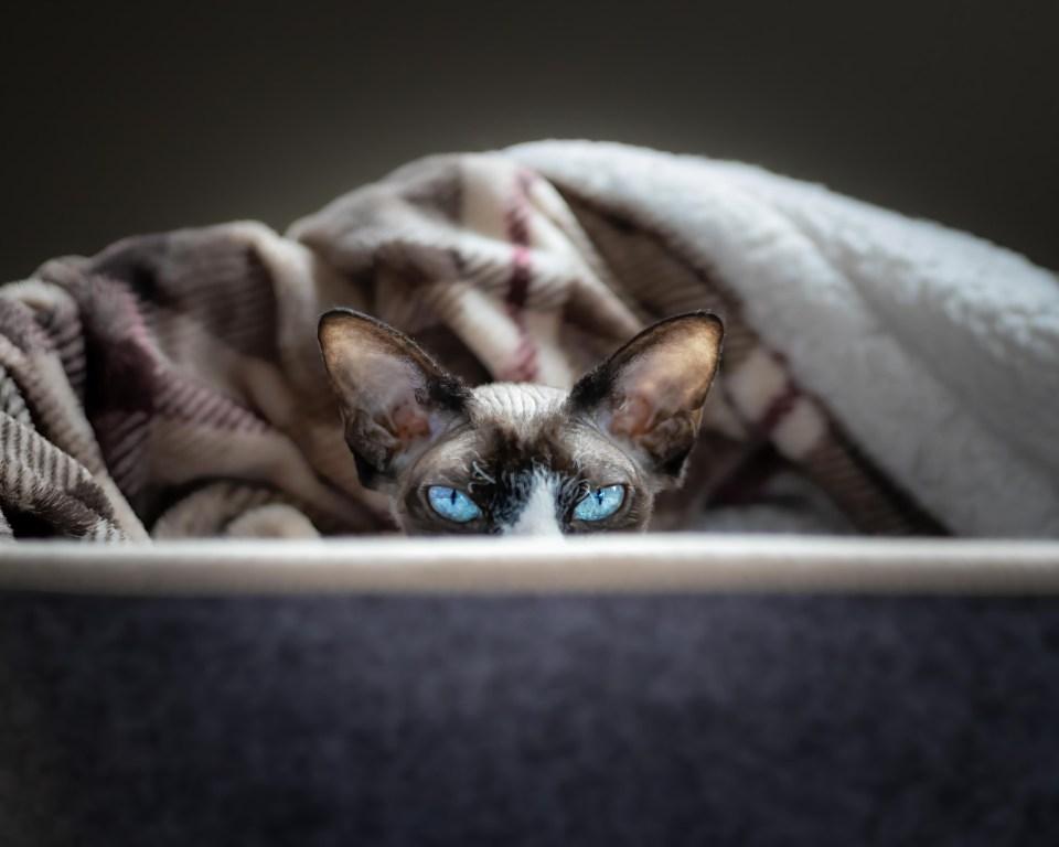 Sphynx Cat looking Cozy under blankets
