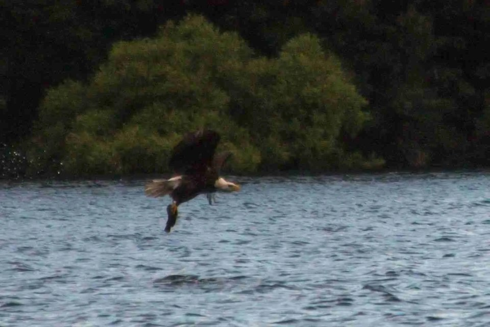 A Bald Eagle holding a freshly caught fish just above the water