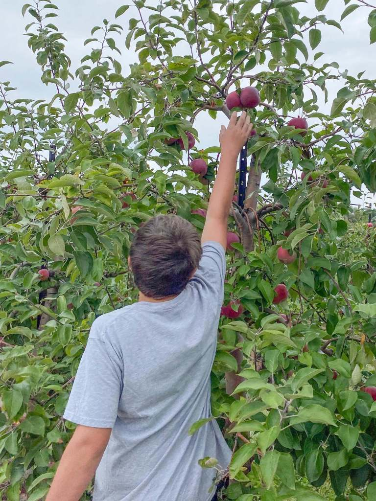 a boy picks an apple from the tree in an apple orchard