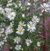 daisy-like flowers have been known to be mistaken for fleabane