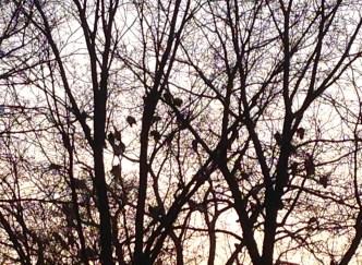 Vultures Roosting 2
