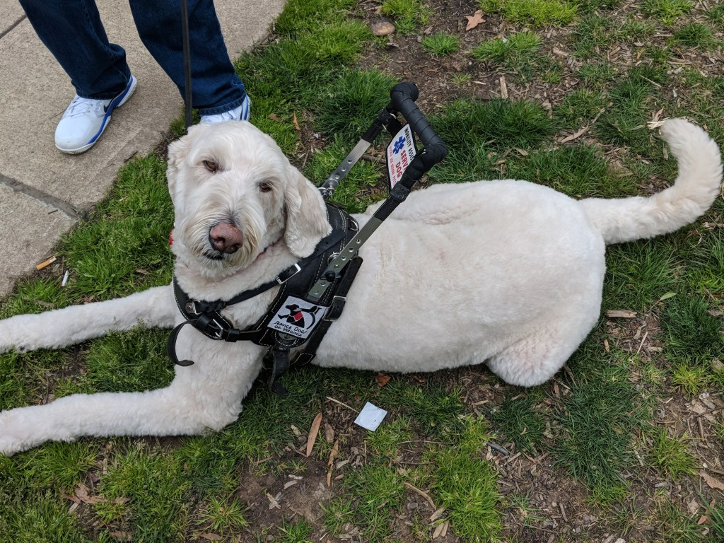 Grady the goldendoodle wearing a harness and looking at the camera