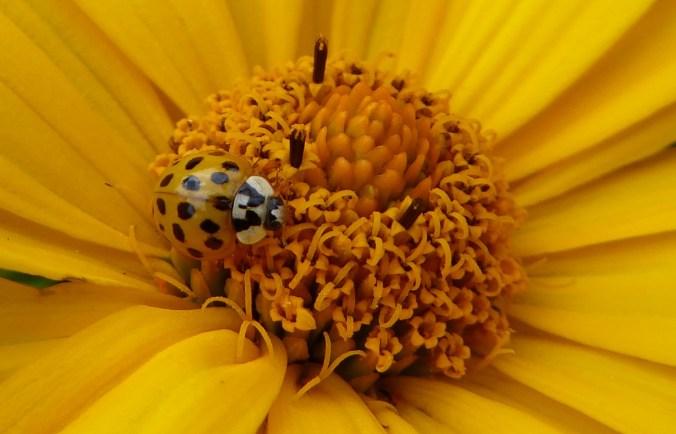 geel aziatisch lieveheersbeestje