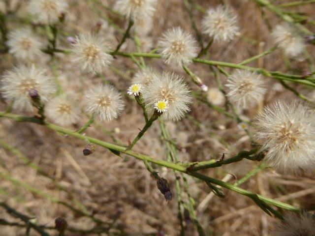 witte bloempjes met pluizig zaad