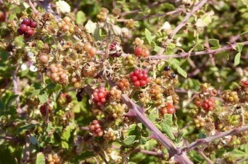braamachtige vruchtjes