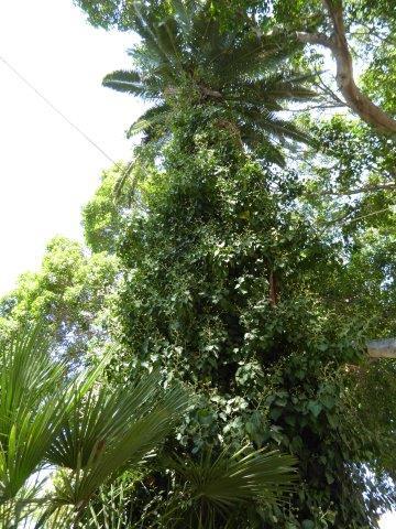 palm met bloeiende klimop