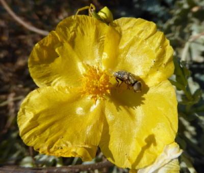 gele hoornpapaver met vlieg