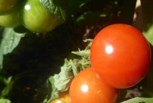 rijpende tomaatjes