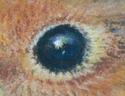 Tekening roodborstje oog