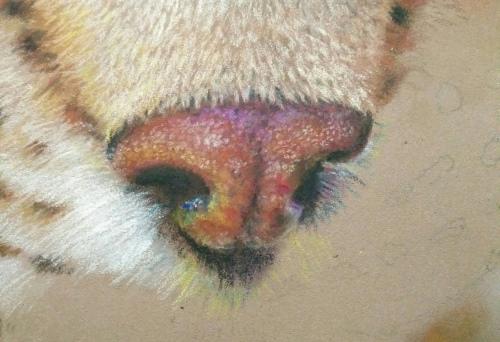 Tekening lynx 13 neus
