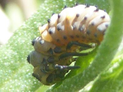 larve lieveheersbeestje