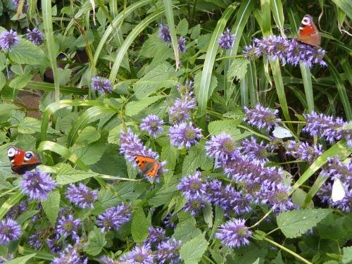 veel vlinders