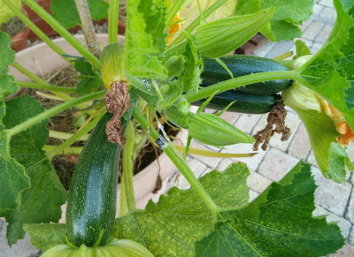 courgette in pot